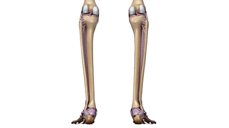 Skeleton legs with ligaments back