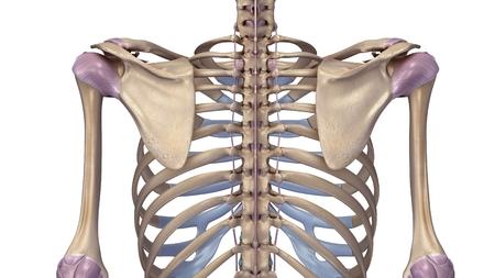 Skelet met ligamenten Stockfoto