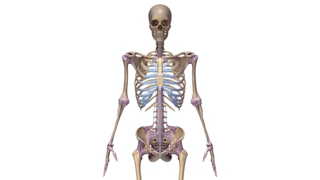 sacrum: Skeleton with ligaments