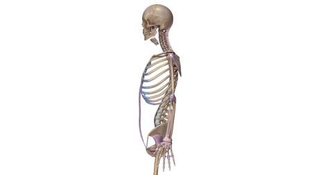 Skeleton with ligaments