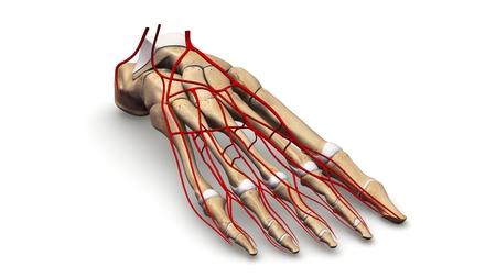 huesos del pie con arterias vista prespectiva