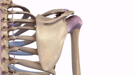 靭帯で肩甲骨