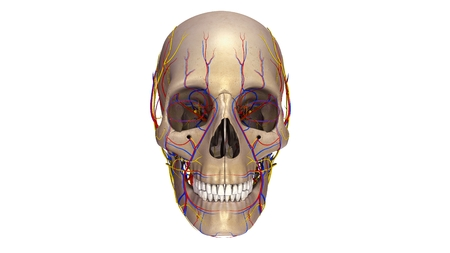 Skull with blood vessels and Nerves anterior view
