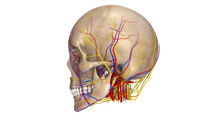 Skull with blood vessels and Nerves lateral view