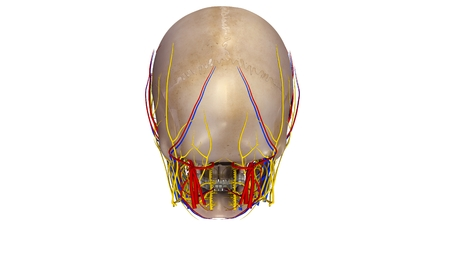 Skull with blood vessels and Nerves posterior view Stock Photo