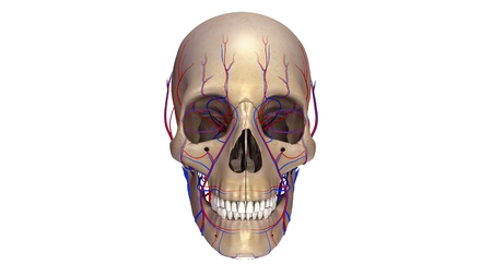 Skull with blood vessels anterior view