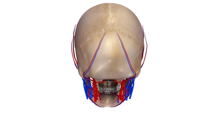posterior: Skull with blood vessels posterior view Stock Photo