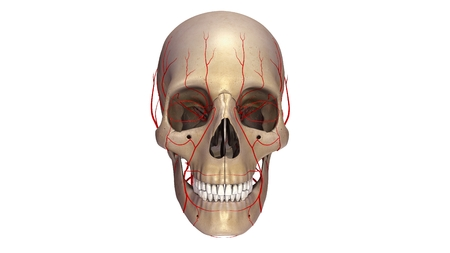arteries: Skull with Arteries anterior view