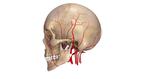 arteries: Skull with Arteries lateral view