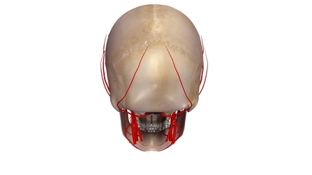 posterior: Skull with Arteries posterior view Stock Photo