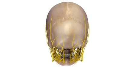 posterior: Skull with Nerves posterior view