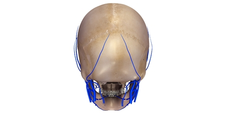 posterior: Skull with Veins posterior view