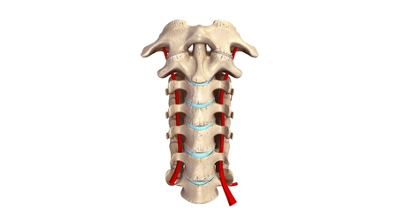 cervicales: columna cervical anterior con vistas Arterias Foto de archivo