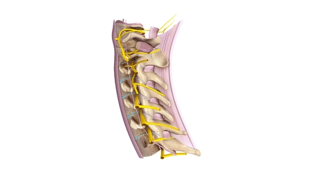 Cervical spine with ligament and Nerves lateral view Stock Photo