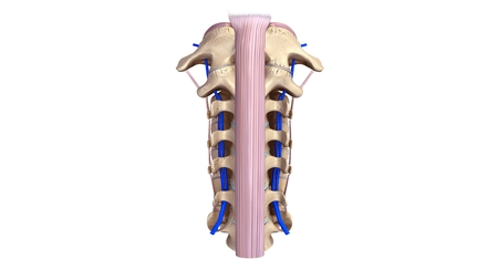 vertebrae view: Cervical spine with ligament and Veins anterior view