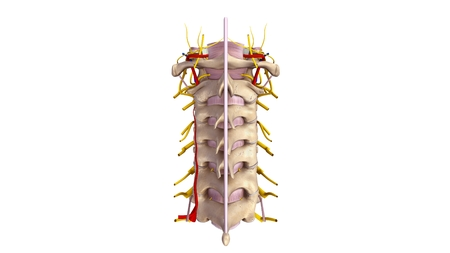posterior: Cervical spine with ligament, blood vessels and nerves posterior view Stock Photo