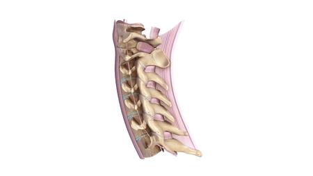 cervicales: columna cervical con vista lateral del ligamento Foto de archivo