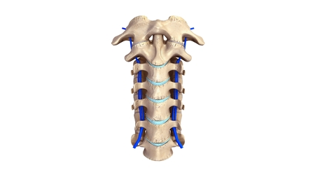 Cervical spine with Veins anterior view
