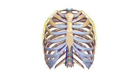 Ribs met bloedvaten en zenuwen anterior view