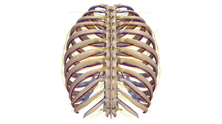 posterior: Ribs with blood vessels and nerves posterior view
