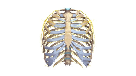 Ribs with Nerves anterior view