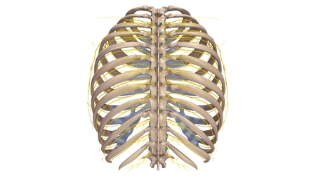 Ribs with Nerves posterior view Stock Photo