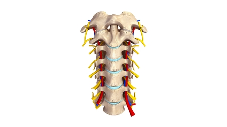 Cervical spine with blood vessels and nerves anterior view