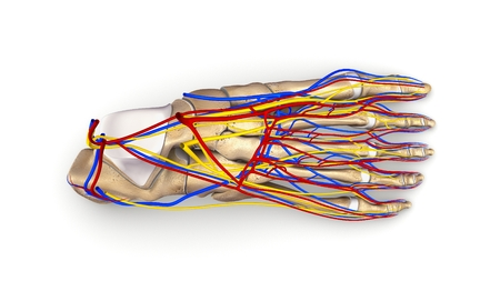 Foot bones with nerves and blood vessels top view