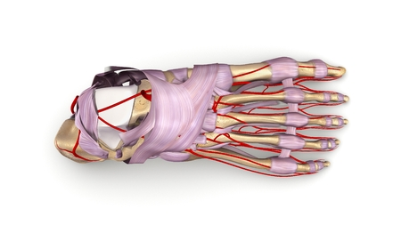 Foot bones with ligaments and arteries top view Stock Photo