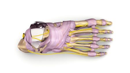 Foot bones with ligaments and nerves top view Stock Photo