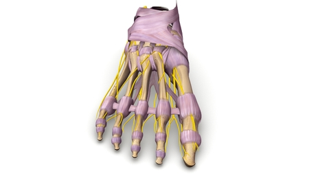 Foot bones with ligaments and nerves anterior view Stock Photo