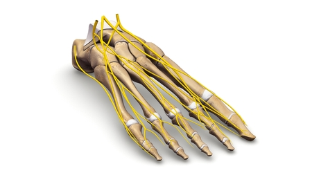 Foot Bones with nerves prespective view Stock Photo