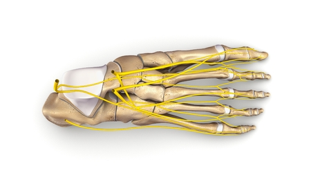 Foot Bones with nerves top view Stock Photo