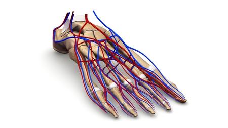 prespective: Foot Bones with blood vessels prespective view