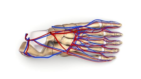 Foot Bones with blood vessels top view