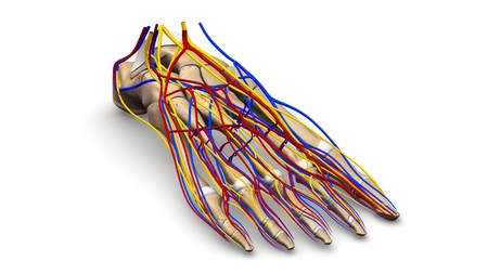 Foot Bones with nerves and blood vessels prespective view