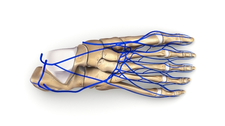 Foot Bones with veins top view Stock Photo