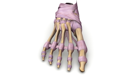 Foot Bones with ligaments anterior view