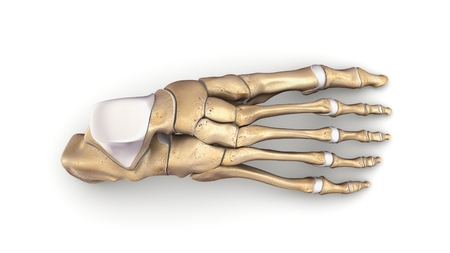 Foot Bones top view