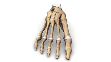 Foot Bones anterior view Stock Photo