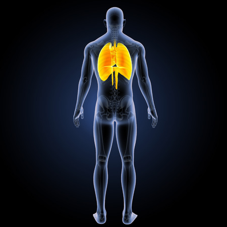 Human Respiratory system posterior view Stock Photo