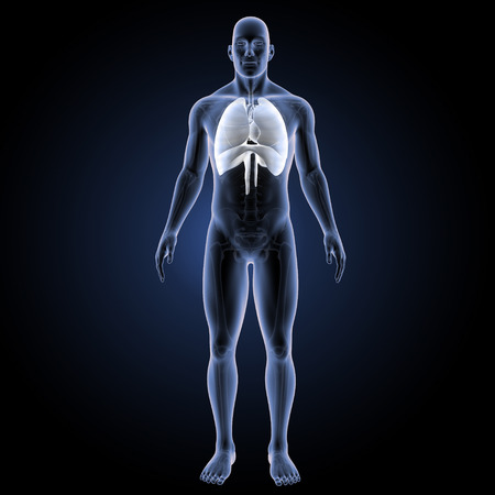 Human Respiratory system anterior view Stock Photo