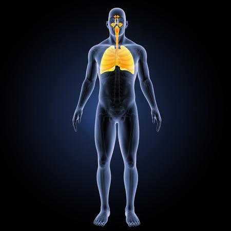 Human Respiratory system with heart anterior view Stock Photo