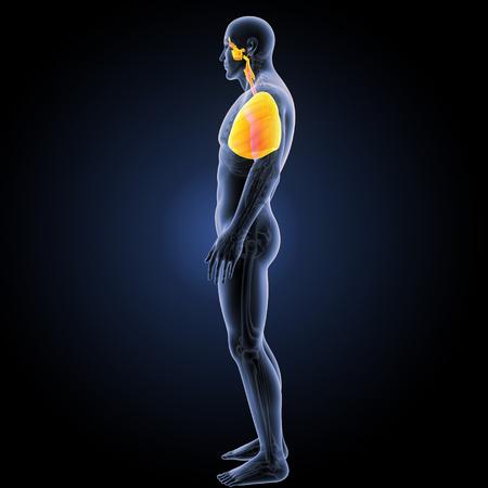 Sistema respiratorio umano con vista laterale del cuore
