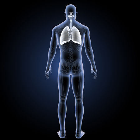Human Respiratory system with heart posterior view Stock Photo