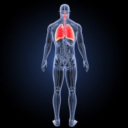 human Respiratory system with anatomy posterior view Stock Photo