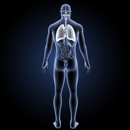 Human Respiratory system with organs posterior view