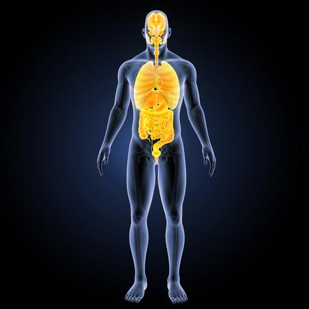 colon: Human Organs with skeleton anterior view
