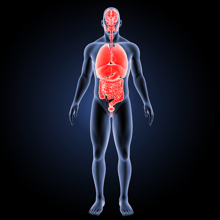 Human Organs with body anterior view Stock Photo