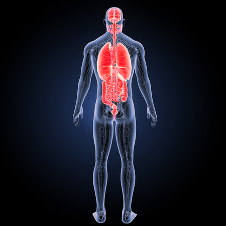 Human Organs with circulatory system posterior view Stock Photo